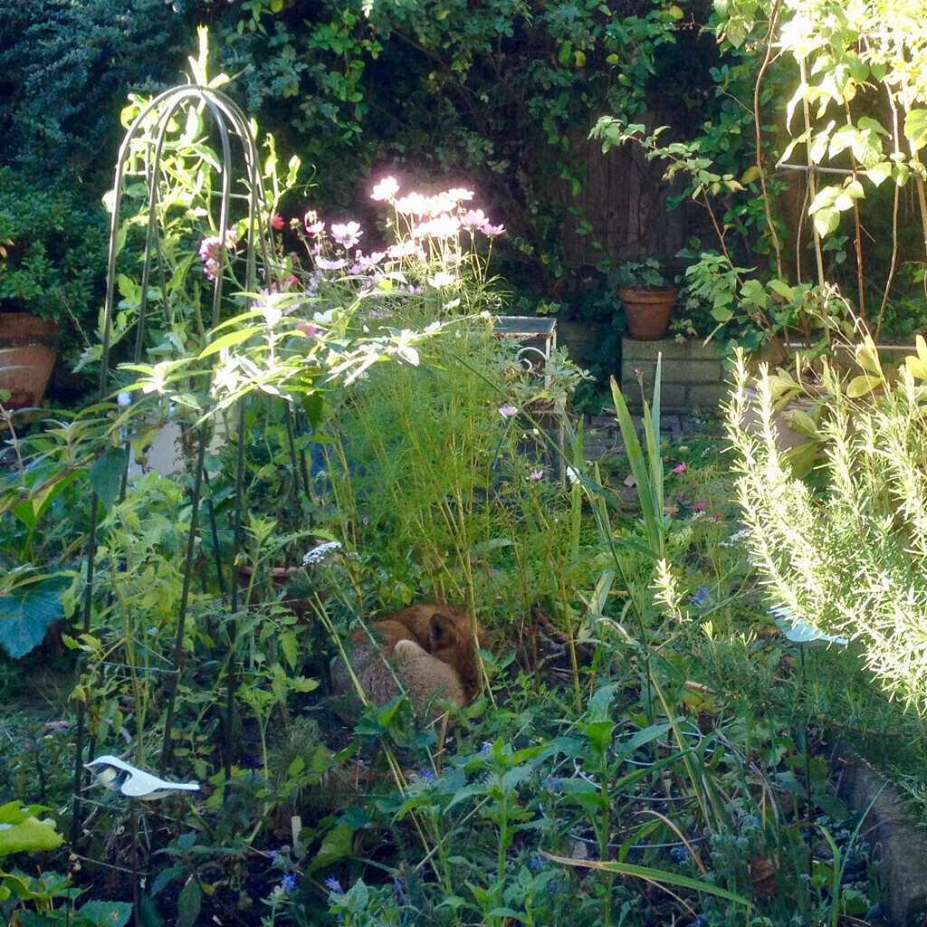 A rather messy bed of tall greenery and a few flowers in a very small garden. A fox is curled up asleep in the middle, looking very round and fluffy with its nose tucked under its tail